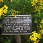 Hypericum (from Chelsea Physic Garden)